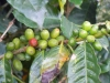Costa Rica Coffee Beans in February