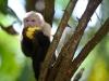 costa-rica-white-face-monkey-mango-tree