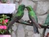 costa-rica-hummingbirds-monteverde