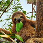 Baby brown-throated three-toed sloth