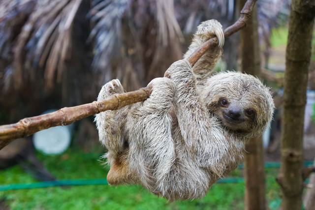 Sloth in Rescue Centre in San Jose