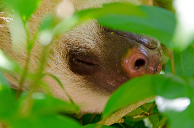 Two-fingered sloth hangs upside down