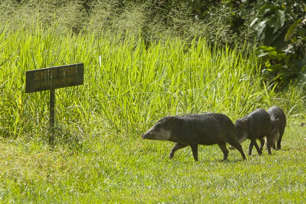 corcovado-costa-rica-sirena-trail-white-lipped-peccaries