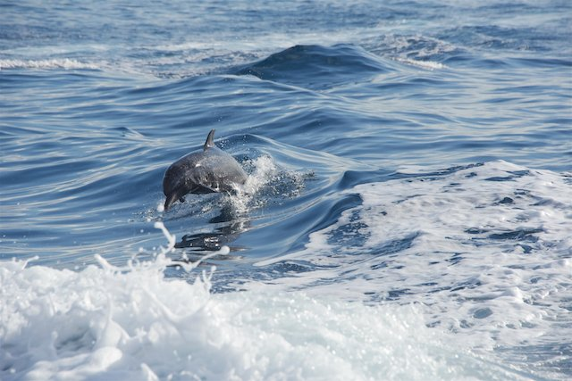 dolphin watching - corcovado national park (osa peninsula)