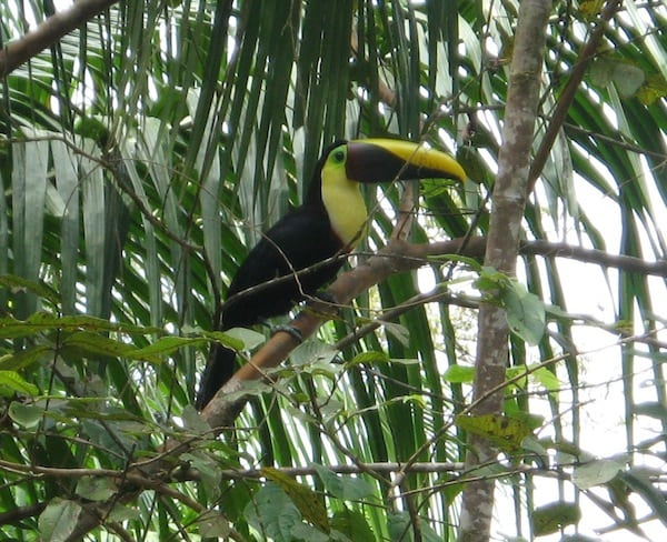 Cahuita National Park Toucan