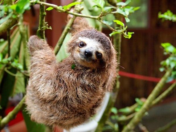 Costa Rica Sloth!!!