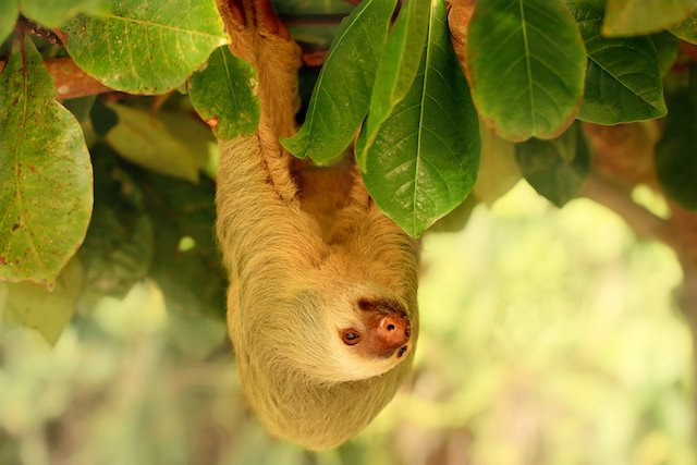 costa rica sloth cahuita national park.
