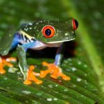 Costa Rica Tree Frog (Rainy Season)