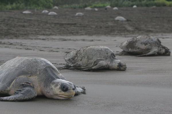 massive-nesting-ostional-olive-ridley-turtle