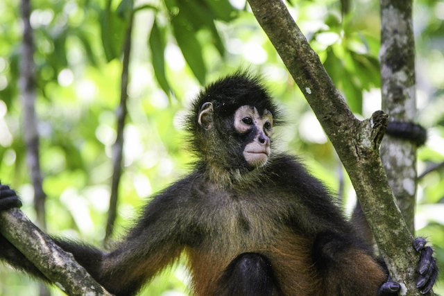 Spider Monkey in Puerto Jimenez